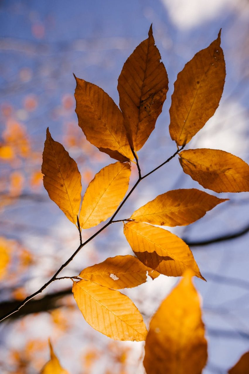 autumn leaves on thin twigs of branch
