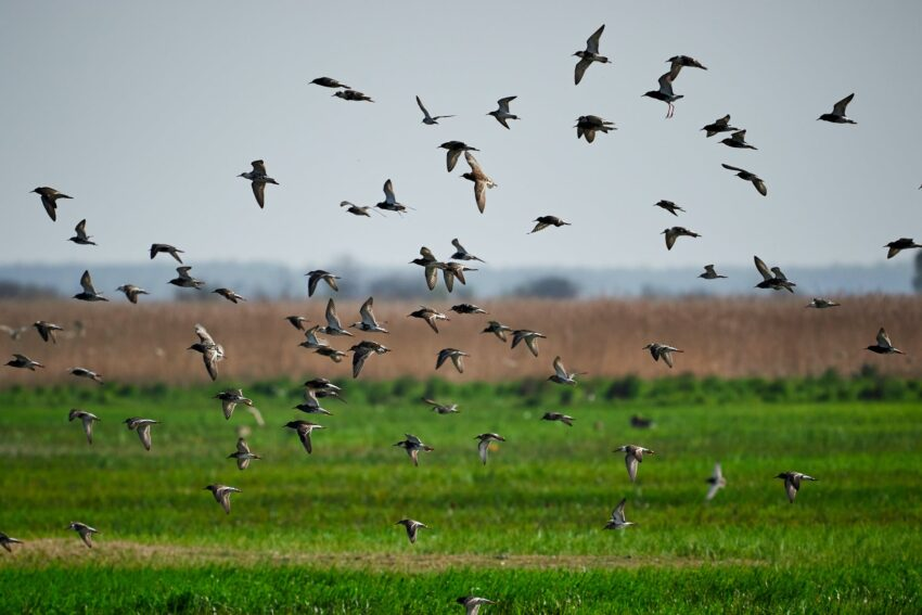 photo of a flock of birds flying below grass field